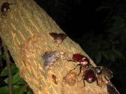 樹液に集まるカブトムシの群れ