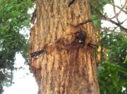 明け方樹液を吸うカブトムシのメス