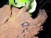 2012年5月27日-樹の上でじっとしているコクワガタのメス