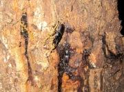 2012年5月28日-樹液に集まるコクワガタのペア