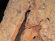 2012年6月4日-樹皮の剥がれ目に頭を突っ込んで樹液を吸うヒラタクワガタのオス