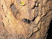 2012年6月4日-慌てて木をおり始めるヒラタクワガタの小型オス