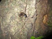 2012年6月4日-蟻の群れに混じって樹液を吸うヒラタクワガタ