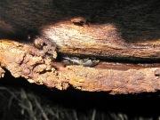 2012年6月4日-樹液が出る樹皮の下に隠れる大型のコクワガタのオス