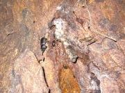 2012年6月4日-他の昆虫達と一緒に樹液のエサ場に集まるコクワガタのオス