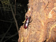 2012年6月4日-梅雨の始めに樹液に現れるノコギリクワガタの小型のオス