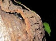 2012年6月10日-樹皮の剥がれ目に頭からは入り込むヒラタクワガタのオス