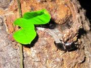 2012年6月13日-梅雨の蒸し暑い夜にクヌギの洞から出て来る天然の国産ヒラタクワガタのオス