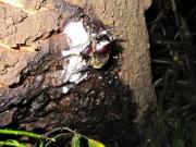 2012年6月13日-梅雨の始めに樹液にやって来る大型のカブトムシのオス
