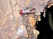 2012年6月27日-蛾の群れに混じって樹液を吸うノコギリクワガタのオス
