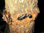 2012年7月3日-梅雨の晴れた夜にスズメバチと一緒に樹液を吸う天然ヒラタクワガタのペア(オスとメス)