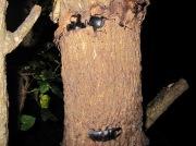 2012年7月10日-樹液に集まる2匹の大型ヒラタのオス