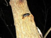 2012年7月29日-クヌギの幹の上の方で樹液を吸う小型のヒラタクワガタのオス
