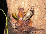 2012年7月29日-樹液を吸うミヤマクワガタのペアと様々な昆虫達