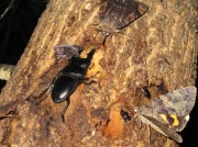 2012年7月31日-他の昆虫達と樹液に集まる大型のヒラタクワガタのオス