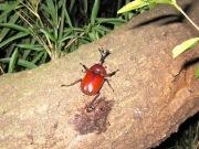 2012年8月5日-樹液を独り占めにする大型の真っ赤なカブトムシ
