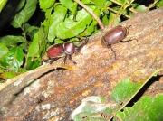 2012年8月11日-仲良く向かい合って樹液を吸う大型のカブトムシのオスとメス
