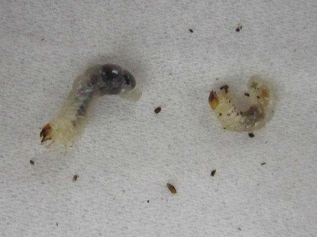 ブヨブヨ病のクワガタの幼虫