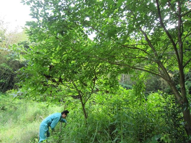 2012年5月下旬のクワガタカブトムシの森作り