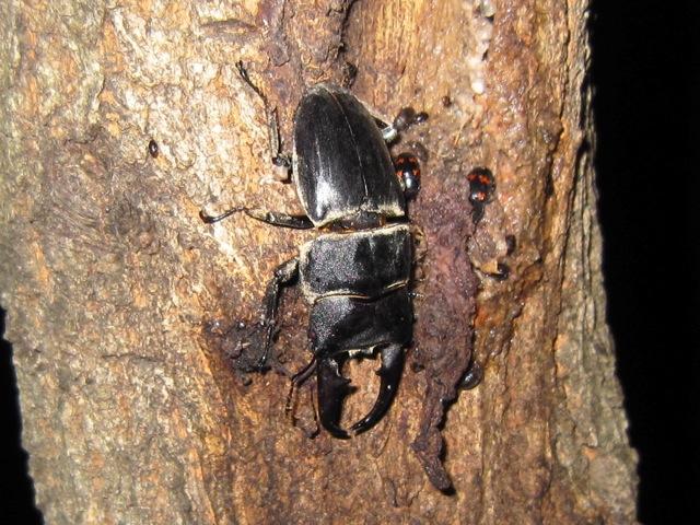 樹液に集まる大型のヒラタクワガタのオス