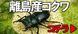 九州離島産亜種のコクワガタ販売