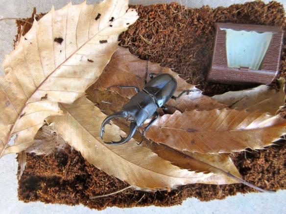 ココパウダーマットを用いたクワガタの冬眠に関する記事