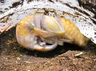 クワガタの蛹(後期)