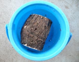 ヒラタクワガタの産卵木を加水します。