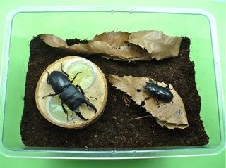 ヒラタクワガタの産卵セットの例