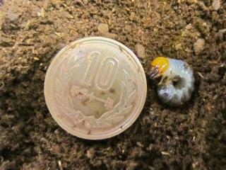 クワガタの二齢幼虫