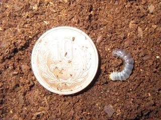 クワガタの初齢(一齢)幼虫