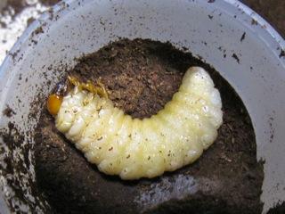 クワガタの前蛹