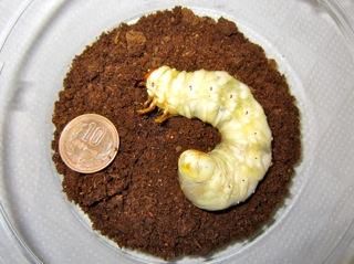 クワガタの終齢幼虫(後期)