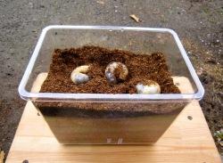 カブトムシの幼虫の飼育例です。