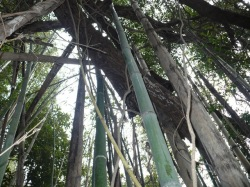 クヌギの木が立ったまま枯れています