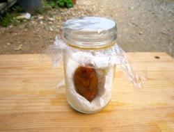 びんを使ったカブトムシのサナギの救命方法