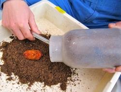 誤って掘り起こしたカブトムシのサナギ