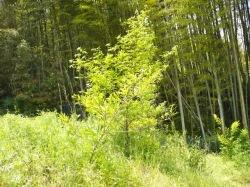 カブトムシの森の4年目のクヌギの木