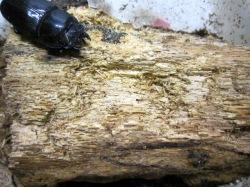 オオクワガタが産卵した朽ち木