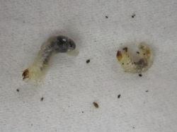 摂食障害(ブヨブヨ)の幼虫