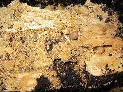 クワガタ産卵木の効果