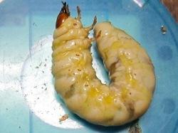 黄色くなったクワガタの幼虫