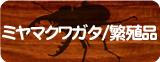 ミヤマクワガタ(繁殖品)通販コーナー