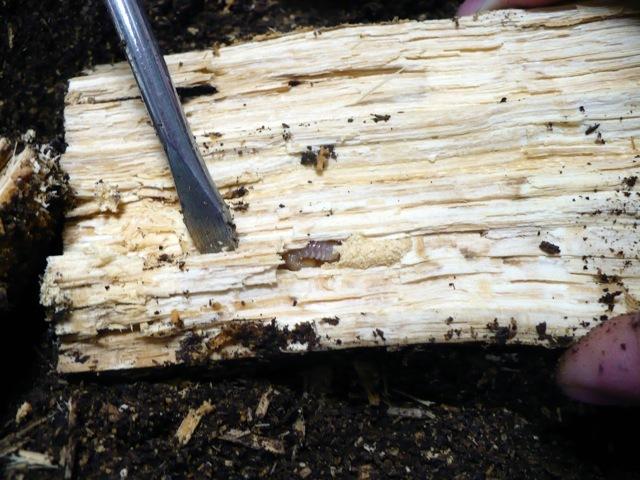 オオクワガタの幼虫を朽ち木から出しています