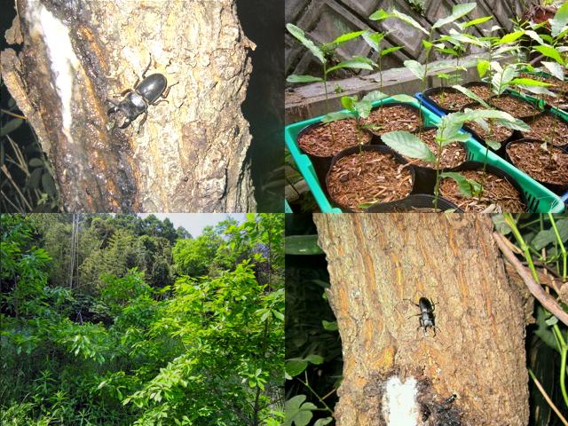クワガタとクヌギの苗木