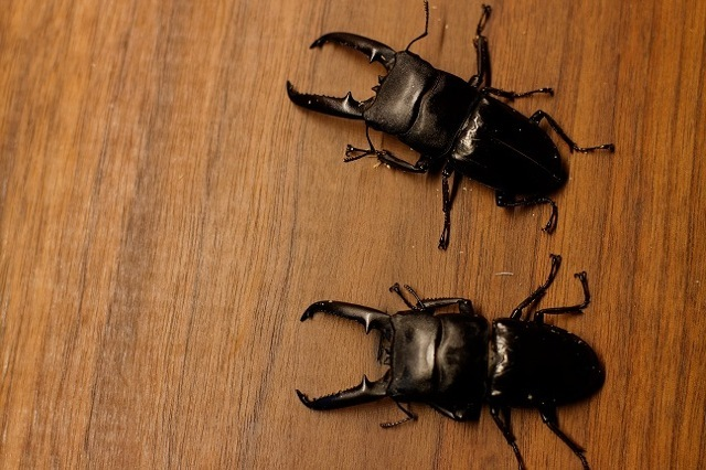 ツシマヒラタクワガタのマット飼育で育った2匹の大型個体