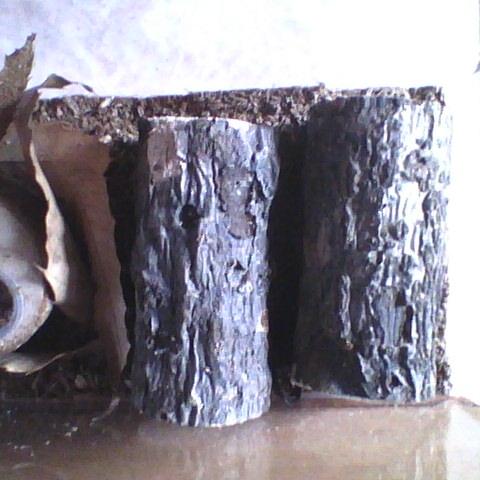 止まり木(2本)を用いたオオクワガタの飼育例