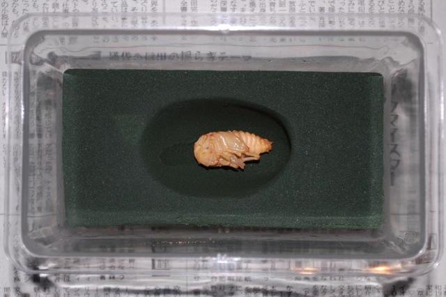 岩手県のお客様が作成されたクワガタの人工蛹室です