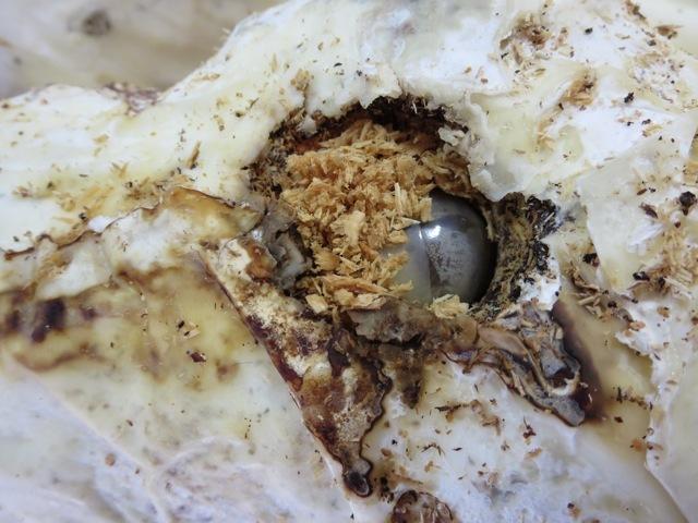 植菌材に投入したオオクワガタの終齢幼虫