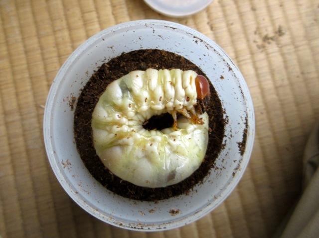 菌糸ビン→マット飼育に切り替えた幼虫